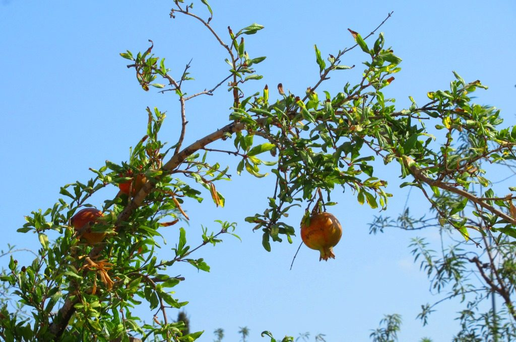Pomegranates growing in Jerusalem, Israel park area